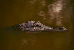 Swamp life (BcLand) Tags: reptile alligator swamp tc20eii lakemartin d810 nikon70200mmf28vr
