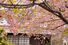 DS7_1847.jpg (d3_plus) Tags: street sea sky plant flower nature car rain japan drive spring scenery cloudy wideangle rainy  cherryblossom  sakura   shizuoka    touring  izu  kawasaki  superwideangle  kawazu          a05  kawazuzakura  1735mmf284 tamronspaf1735mmf284dildasphericalif tamronspaf1735mmf284dildaspherical d700  nikond700 tamronspaf1735mmf284dild tamronspaf1735mmf284 kawazucherryblossom tamronspaf1735mmf284dildasphericalifmodela05