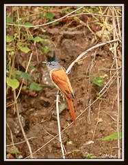 Asian Paradise Flycatcher! (Mitesh S) Tags: canon asian paradise pashan pune xsi flycatcher 55250mm