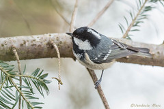Coal tit -Periparus ater - Zwarte mees (fire111) Tags: winter snow black tree bird nature germany march photo nikon tit forrest wildlife coal nikkor wald f28 mees taxus bavarian bayerische zwarte 400mm ater 2015 periparus
