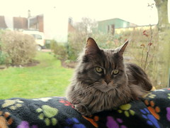 Breeze at the window, 16 Mar 15 (Castaway in Scotland) Tags: blue pet cute animal cat silver grey scotland tabby north gray maine adorable kitty east coon berwick lothian musselburgh
