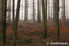 Forest in Autumn (FuriPictures) Tags: autumn forest abend flickr nebel herbst mystical wald mystic furipictures