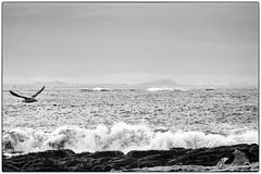 Seagull and the Sea (GBen) Tags: sea bw seaweed bird nature animal one march flying walk seagull fugl akranes fjara 2015 mvur ari