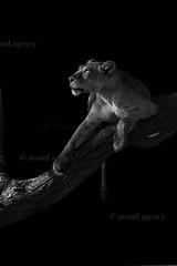 IMG_2410-edit-lion-copyright-copyright (film music) Tags: africa travel chris vacation tanzania honeymoon tour lion safari thinking ward luxury lioness christopherward awardagency forscorecom