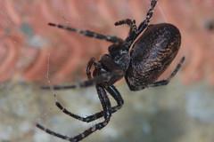 Big Girl (Procrustes2007) Tags: uk england spider suffolk britain wildlife arachnid flash nikond50 sudbury invertebrate wildlifephotography nucteneaumbratica tamron2xteleconverter nikkor50mmais walnutorbweb vivitarextensionrings68mmtotal d50nocturnalmacro
