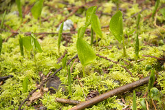 Spring and (Re)Birth 13/52 (Golden Ears Provincial Park) (lemanie73) Tags: trees fern green forest moss britishcolumbia mapleridge filmset goldenearsprovincialpark the100 52weeksproject 52weeksthe2015edition weekstartingthursdaymarch262015