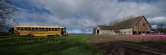 Bus Barn Tulips (Dennis Valente) Tags: sky panorama usa flower grass clouds barn washington tulips panoramic schoolbus hdr mountvernon skagitvalley skagitvalleytulipfestival 2015 32bit isobracketing