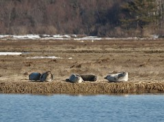 Loafing Harbor Seals (Bill Bunn) Tags: maine wells harborseals