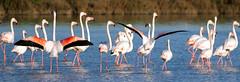 Fenicotteri Rosa 2 (Strocchi) Tags: bird water canon flamingo sigma uccelli acqua birdwatching ravenna 50500mm supertele fenicotterirosa eos400d salinedicervia pinkphoenicopterus phoenicopterusfürbringer