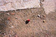 Fragility in the Alley (Purple Field) Tags: life street flower color film japan analog zeiss 35mm walking alley kyoto fuji contax zen carl 京都 日本 tvs camellia 花 provia 散歩 禅 春 100f 路地 sonnar 椿 vario カラー 富士 rdpiii rdp3 銀塩 ストリート フィルム コンタックス 命 アナログ canoscan8800f プロビア 2856mm stphotographia カール・ツァイス バリオ・ゾナー