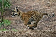 Go, Cat, Go! (Penny Hyde) Tags: cub tiger bigcat sumatrantiger safaripark tigercub babyanimal