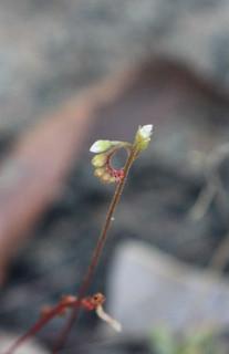 Drosera spatulata var. spatulata (Rosy Sundew)