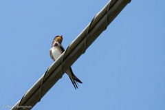 Swallow. Rondine. (omar.flumignan) Tags: bird canon eos 7d swallow uccello rondine ef100400f4556lisusm