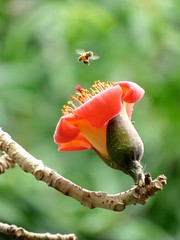 bee and flower (oneroadlucky) Tags: orange plant flower nature animal bee   bombaxceiba