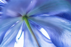 under the blue shade (Noel Leone--my reality in and out of focus) Tags: blue flower macro umbrella happy petals spring soft pov clematis lookingup highkey unusual hbw happybokehwednesday lightroompractice