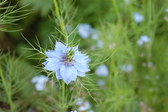Nigella damascena (basswulf) Tags: nigella nigelladamascena loveinthemist flower blue d40 vivitar90mmf25macro lenstagged unmodified 32 image:ratio=32 camerasetting:aperture=f71 permissions:licence=c plantdb:family=pending 20160529 201605 3008x2000 garden backgarden normcres oxford england uk