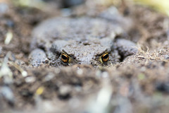 Common toad (Bufo bufo) partially buried in soil (Ian Redding) Tags: uk orange brown nature animal fauna eyes european buried wildlife amphibian ground hidden soil toad british bufobufo commontoad partially