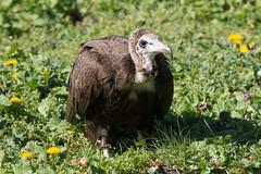 Geier (Nereus[GER]) Tags: zoo vogel geier greifvogel neunkirchen