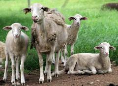 Triplets every year (baalands) Tags: hair sheep farm lambs triplets dairy shedding katahdin ewe crossbred dorper lacaune
