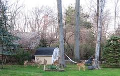 Thursday Colours - Deer Invasion at my Neighbour's (Pushapoze - sciatica) Tags: deer forsythia cerfs biches chevreuils