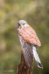 Kestrel (Falco tinnunculus) D75_3452.jpg (Mobile Lynn) Tags: england nature birds unitedkingdom ngc npc gb captive birdsofprey kestrel fritham coth greatphotographers specanimal coth5