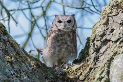 Greyish Eagle-Owl (parry101) Tags: bird nature birds animal animals for eagle centre international owl prey owls greyish icbp