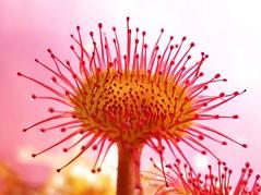 Sunday Sundew..x (lisa@lethen) Tags: plant nature sticky round bog sundew leaved insecivorous