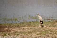 Indische Gaper (Robbert met dubbel B) Tags: park india nature wildlife indian safari national april stork gaper 2016 ooievaar indische nationaal tadoba openbilled wildphotography wildfotografie