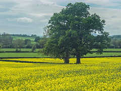 Rapeseed field near Leominster Herefordshire (tramsteer) Tags: trees england oak ludlow hereford rapeseed leominster a49 tramsteer