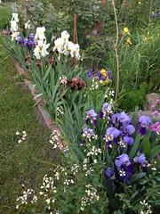 Iris border (hermaneva) Tags: iris plant flower garden spring flag bearded germanica barbata