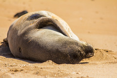 monkseal13Jun17-16 (divindk) Tags: hawaii hawaiianislands kauai neomonachusschauinslandi beach cute endangeredspecies hawaiianmonkseal lazy marine marinemammal monkseal seal sunshine whiskers