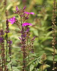 Standing Tall (Tammy Borko Photography) Tags: flowers plants flower nature floral fleurs outdoors photography purple lavender wildflowers growing blooms gardenflowers gardenplant flowerphotography tallplants floralphotography borko tammyborkophotography tammyborko