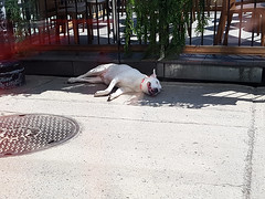 Dog in a heat wave (Exile on Ontario St) Tags: shadow summer dog chien pet hot animal june juin warm shadows place montral terrace montreal phillips terrasse bull philips ombre sidewalk terrier heat rest resting panting lying t bullterrier trottoir allong repos heatwave couch englishbullterrier chaleur canicule summerheat placephillips avoirchaud