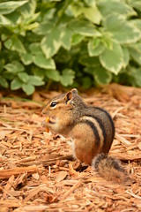 Snacktime.... (Bubash) Tags: wild nature wisconsin outdoors critter chipmunk snacking entertaining