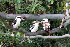 Australian Kookaburras (Gillian Everett) Tags: bird three native australian australia queensland kookaburra 52 2016 week24
