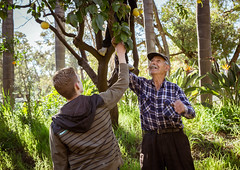 (amelia.searson) Tags: life family trees italy nature grass fruit italian farm grandfather lemons