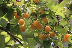Ripe Plums in China Camp (fksr) Tags: plumtree plums fruit ripe foliage chinacampstatepark sanrafael marincounty california