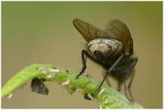 Indiskret (Lumitax) Tags: lumix makro insekt fliege popo raynox250 hinterteil indiskret