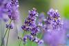 Lavendel (www.petje-fotografie.nl) Tags: macro bloesem bloemen paars lavendel knoppen
