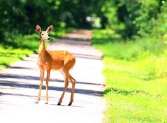 white-tailed deer doe along Prairie Farmer Trail IA 854A0753 (lreis_naturalist) Tags: county reis doe iowa deer trail larry farmer prairie whitetailed winneshiek