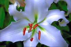 September 13th (Rob Goldstein -Thanks for your support) Tags: sanfrancisco california flowers white flower color macro closeup flora foto lily september urbannature artbyrobgoldstein
