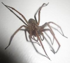 IMG_2171 House spider (John Steedman) Tags: uk greatbritain england unitedkingdom surrey spinne araa farnham araigne grossbritannien    grandebretagne