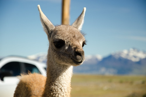 What does baby guanaco taste like?