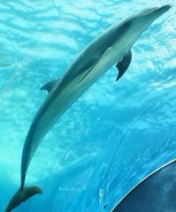 Refraction (EmilyOrca) Tags: aquarium underwater dolphin refraction