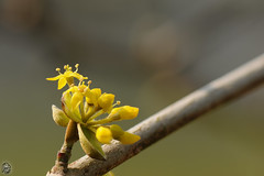 Cornus mas - Cornouiller mle (Ruddy Cors) Tags: macro flora nikon stacking flore corneliancherry cornusmas kornelkirsche gelekornoelje cornouillermle europeancornel d300s