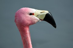 Andean flamingo (James L Taylor) Tags: