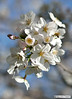 beeDSC_1332modfirma (manuele_pagani) Tags: flowers nature cherry blossom bee eur pianta httpswwwflickrcomsearchqfioritura