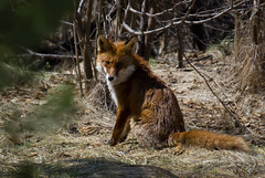 Red fox (vvpopov) Tags: mammal wildlife fox redfox vulpesvulpes vulpes vvpopov