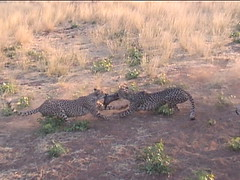 Cheetah Fighting Over Dinner