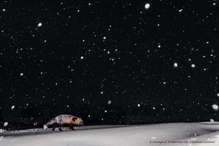 Fox in the Snowy Night-8140